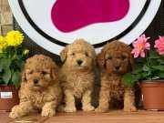 En Fazla Renk Seçeneği İle Toy Poodle Yavrular