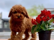 Show kalite Toy poodle yavrular