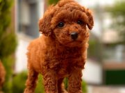 En Fazla Seçenek ile Red Brown Toy Poodle Yavrular