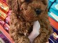 Red Toy Poodle Dişi Yavrular