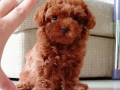 Mini Boy Toy Poodle Yavrular