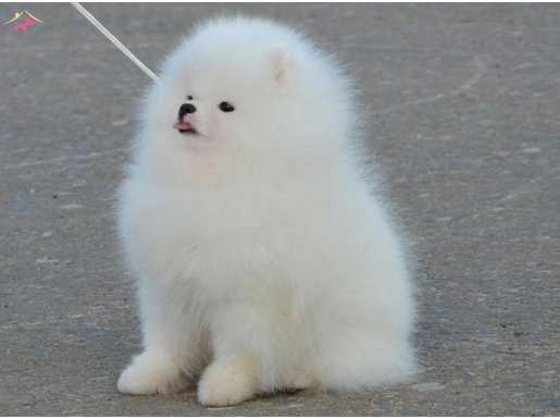 Pomeranian yavrularımız yeni sahiplerine gitmeye hazırlar