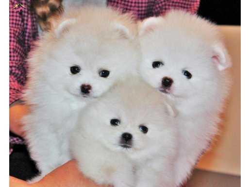 Pomeranian boo yavrular