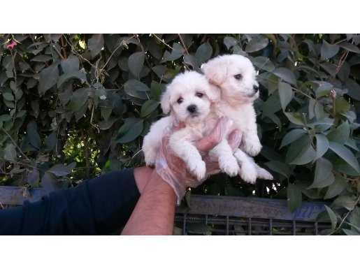 a kalitede maltese terrier yavrularımız