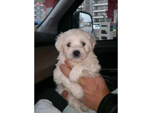 Safran maltese terrier yavrularimjz