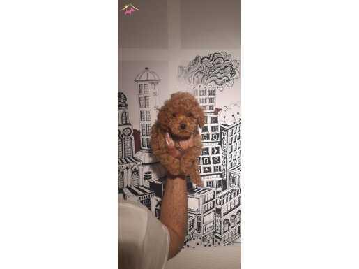 Toy poodle redbrown apricot minyatür yavrular safkan