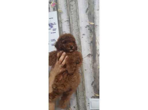 Toy poodle redbrown apricot minyatür yavrular