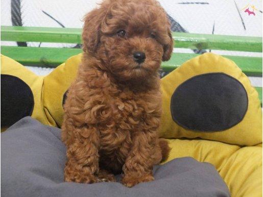 Toy poodle süper kalite orijinal safkan Red kırmızı yavrula