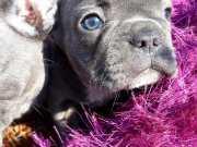 Frenchbulldog blue gri mavi safkan Orjinal Yavrular