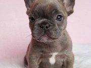 Blue gri mavi gözlü french fransızbulldog yavrular safkan