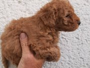 Red toy poodle orjinal safkan büyüleme garantili koyu renk