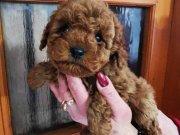 Teacup poodle toy orjinal safkan redbrown kaliteli garantili