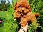 Redbrown gerçek kırmızı toy poodle garantili orjinal safkan
