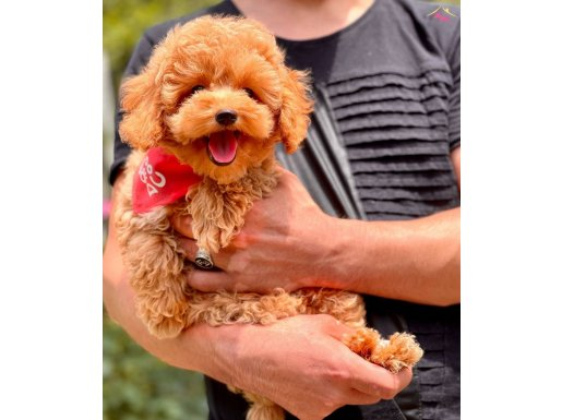 Red Brown Toy Poodle Yavrular