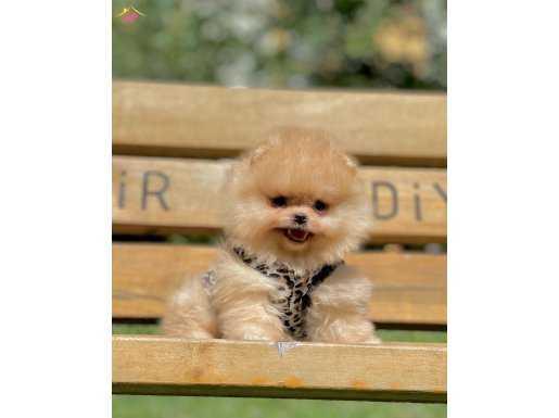 Pomeranian Boo Secereli Anne Babadan Yavrular