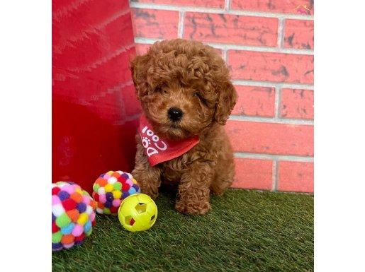Sevimli Red Brown Toy Poodle Yavrular