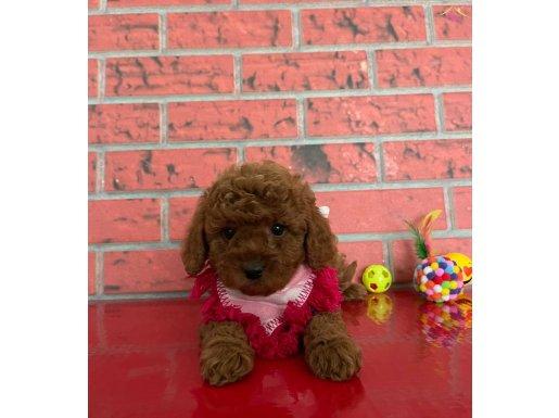 Toy Poodle Sevimli Red Brown Yavrular