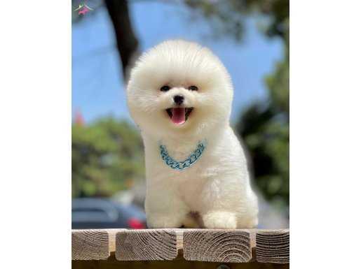 Pomeranian Teddy Face Yavrular