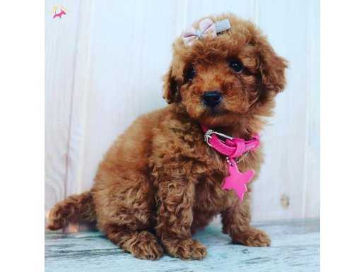 Red Brown Mini Boy Toy Poodle
