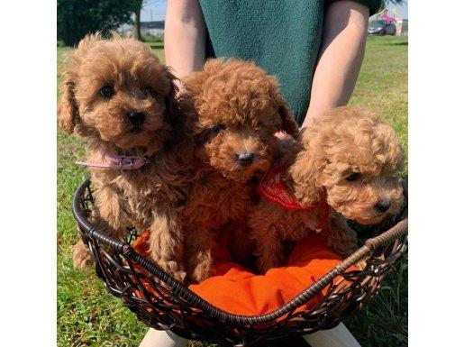 Toy Poodle Red Dişi-Erkek Yavrular