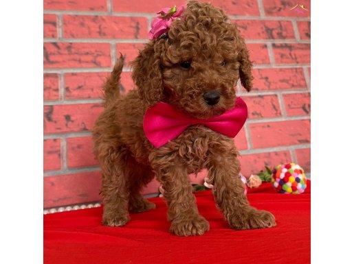 Çeşitli Renklerde Toy Poodle Bebekler