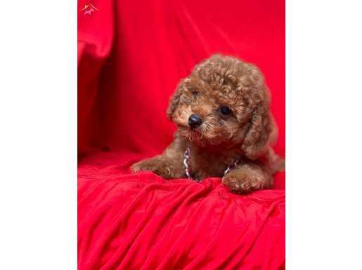 Red Brown Sevimli Dişi Erkek Toy Poodle Bebekler