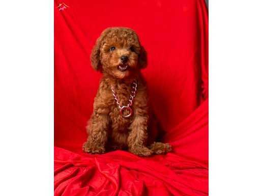 Irkının En Güzel Toy Poodle Bebeleri
