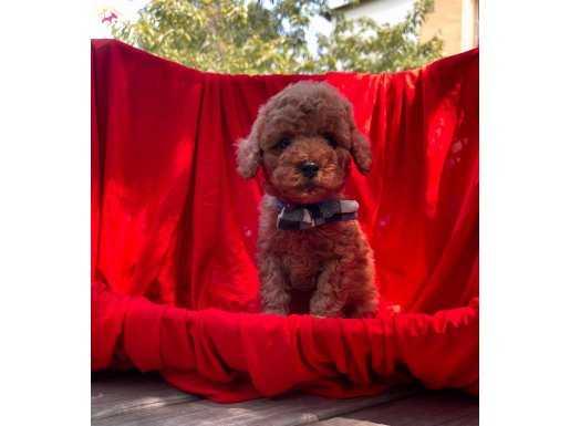 Red Brown Erkek Toy Yavrumuz Poodle