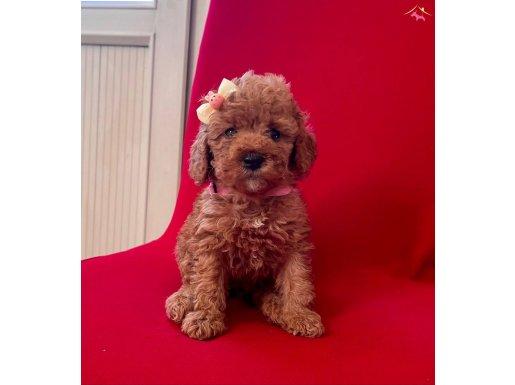 Bebek Surat Toy Poodle Yavrular