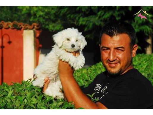 mükemmel kalite maltese terrier yavrular