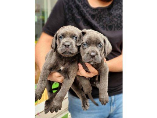 Blue Dişi cane corso yavrularımız