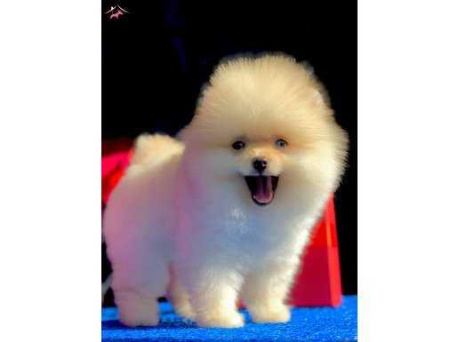 Pomeranian yavrumuz gelmiştir