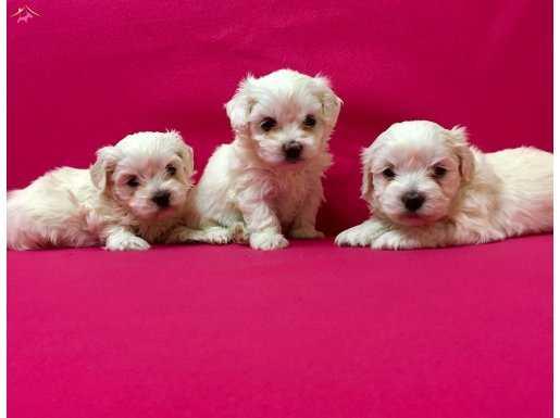 Pamuk gibi maltese terrier yavrularımız