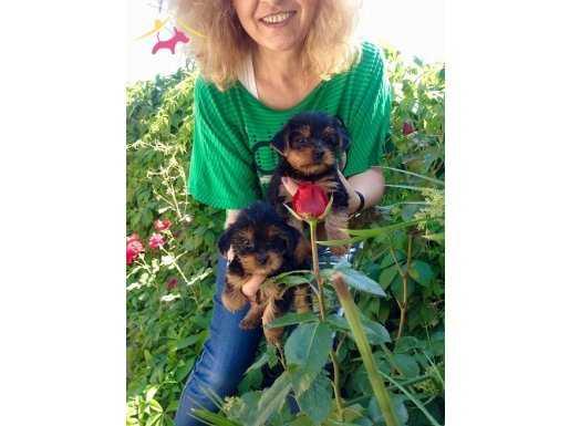 Sevimli Tea Cup Yorkshire Terrier Yavrularımız