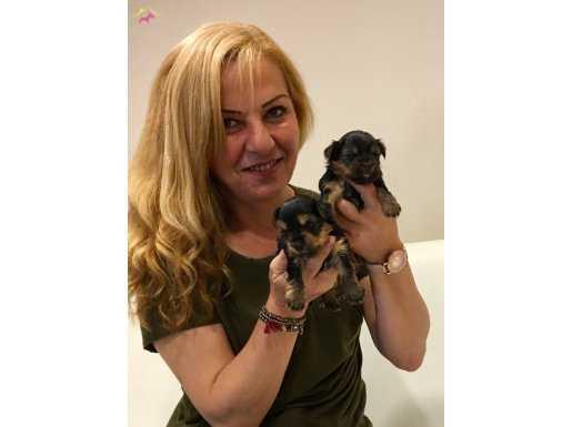 Şirin Sevimli Yorkshire Terrier Yavrularımız