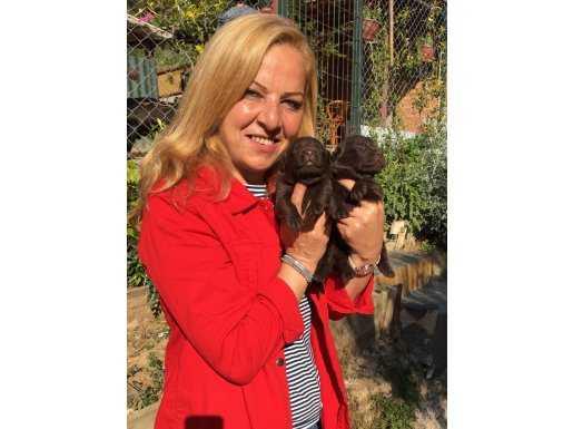 Mükemmel Labrador Retriever Yavrularımız