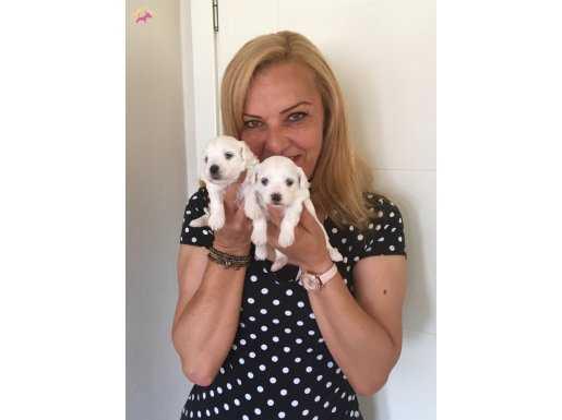 Pamuk Gibi Sevimli Maltese Terrier Yavrularımız