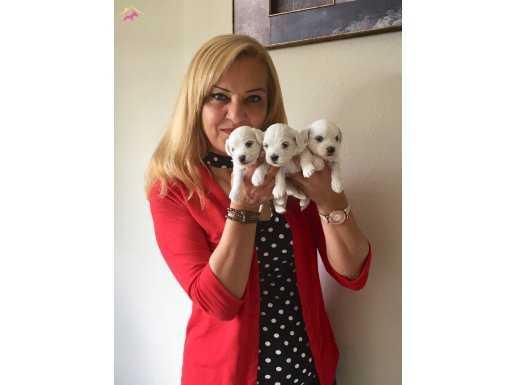 Şeker Gibi Harika Maltese Terrier Yavrularımız