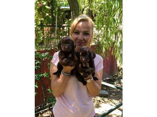 Mükemmel Chocolatte Labrador Retriever Yavrularımız
