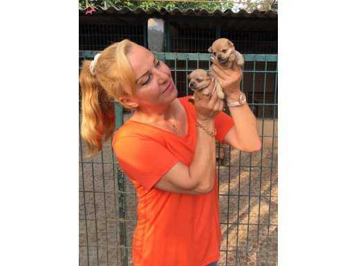 Sevimli Tea Cup Chihuahua Yavrularımız