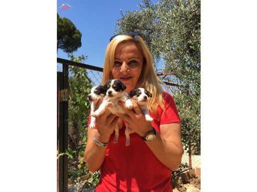 Maskeli Kısa Bacak Harika Jack Russel Terrier Yavrularımız