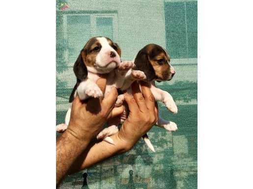 Üretim Çiftliğinden Harika Beagle Yavrularımız