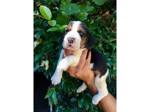 Three Color Harika Beagle Yavrularımız