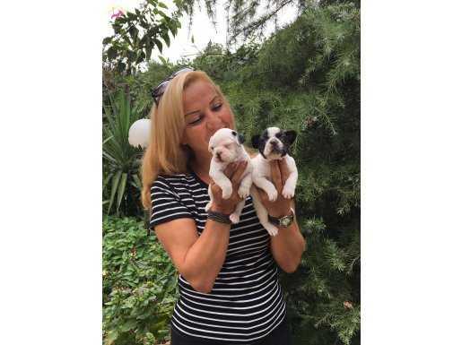 Irk Garantili Harika French Bulldog Yavrularımız