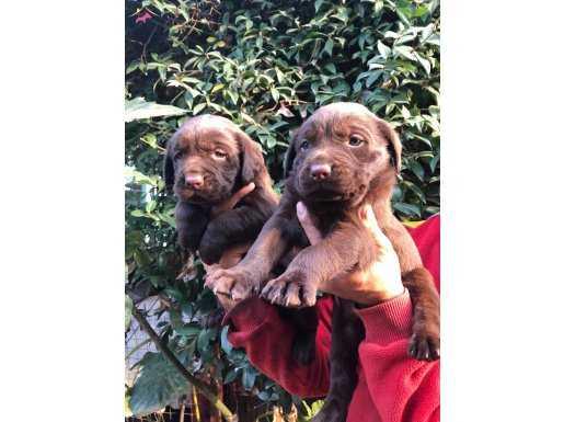 Muhteşem Irk Garantili Labrador Retriever Yavrularımız