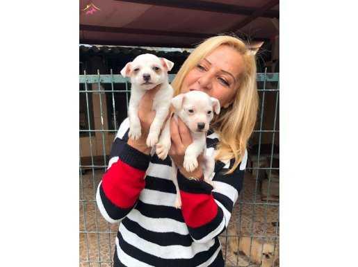 Kısa Bacak Jack Russel Terrier Yavrularımız