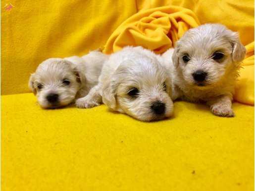 Pamuk Gibi Şirin Maltese Terrier Yavrularımız