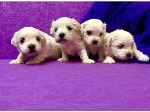 Şirin Sevimli Kar Gibi Maltese Terrier Yavrularımız