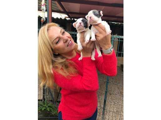 Sevimli Şirin French Bulldog Yavrularımız