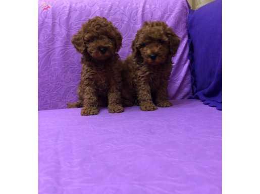 Şirin Sevimli Mini Boy Toy Poodle Yavrularımız